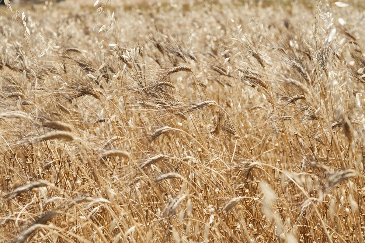 coltivazioni biologiche Molini Riggi grani antichi